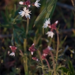 Queneau_wildflowers-7623